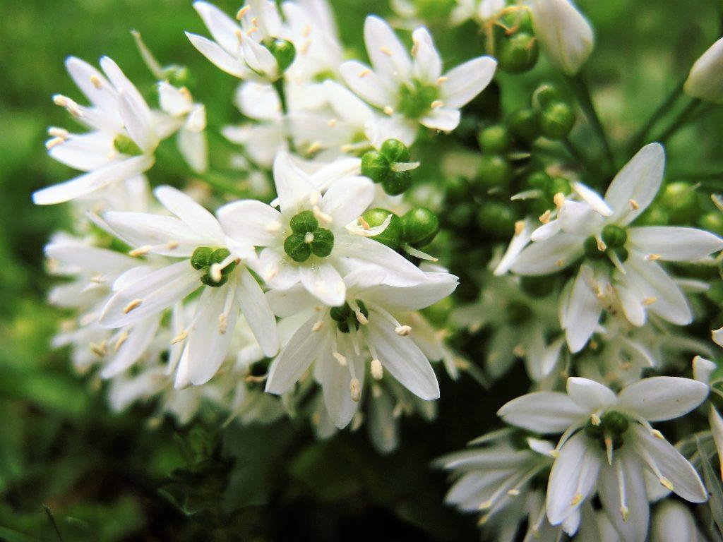 Bärlauchblüte (4)